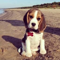 Vendo filhotes de Beagle, com garantia de saúde + pedigree e recibo