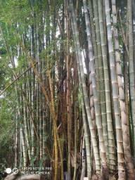 Bambú gigante PROMOÇÃO