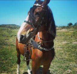 Cavalo Mangalarga (Araruama)