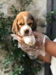 Beagle Filhote 13 polegadas