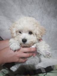 Vendo filhote de poodle com 3 meses