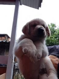 Filhote de cachorro labrador