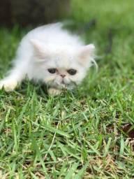 Persa Gato Branco