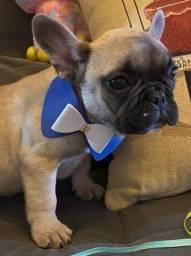 Imperdível !!!! Lindos Machinhos de Bulldog francês disponíveis