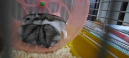 Hamsters Anão Russo / chinês Machos 3 meses