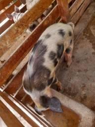 Vendo porca de primeira cria e o cachasinho