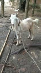 Cabras e Cabritos 199 Cada