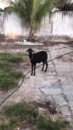 Vende-se carneiro pó 300 reais avistar