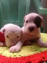 Vendo dois cachorro pit bull todos dois macho zap 91980110991