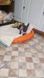 Cachorrinha Pincher 6 meses nome Lili  Pincher pura muito dócil e carinhosa