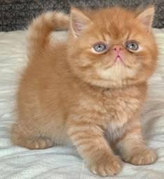 Show de Gato Persa macho com 57 dias Red Tabby Exotico pelo curto extremado super lindo