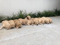 Filhotes de Golden Retrievers