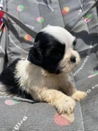 Lindo filhote de shih-tzu preto e branco disponível