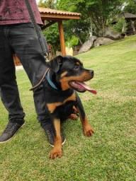 Linda Fêmea Rottweiler Pedigree Ótima Linhagem e Temperamento - Cabeçudo e Focinho Curto