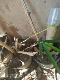 Mudas bambú gigante