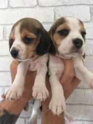 Beagle-Garantia para doenças Genéticas ou Hereditárias