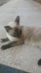 Doação de gata Siamesa