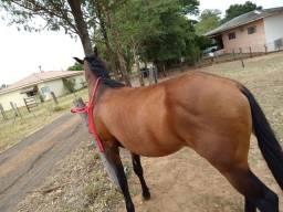 Véi este cavalo QM 6amos garanhão  não tem registro