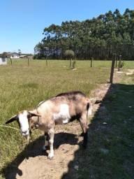 Vendo cabra mança