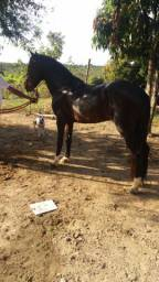 Cavalo inteiro manso 4 anos tem q ajeitar o andamento