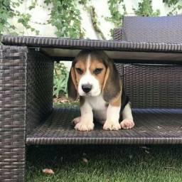 Filhotes Beagle tricolor fêmea pedigree opcional