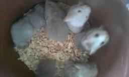 Vendo filhotes de hamster fêmeas e machos.