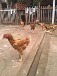 Vende se galinha