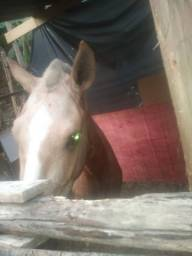 Vendo cavalo baia loiro macha picada pra sair hj 2 mil so vendo