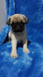 Pug com pedigree em até 18x