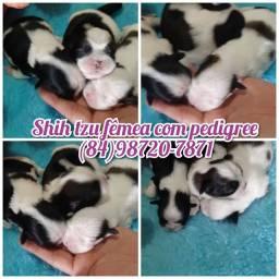 Shih tzu fêmeas com pedigree! Excelente procedência!