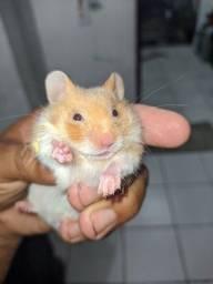 Vendo Filhotes de Hamster Sírio, 8,00. Aceito cartão