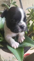 Buldogue Francês é no Da Madre Pet Shop