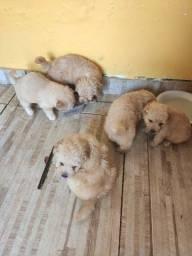 Filhotes de poodle ?