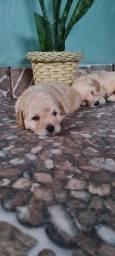 Poodles 1 mês