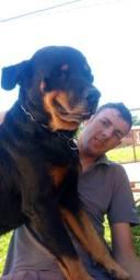 Rottweiler para doação