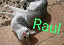 Gato castrado para adoção