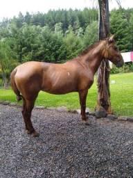 Vendo égua mansa ou troco