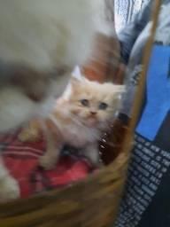 Gato Persa!