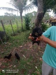 Dou filhotes Mestiços de rottweiler