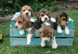 Criação com Amor! Beagle Filhote 13 Polegadas com Pedigree e Garantia de Saúde