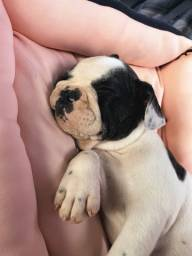 Bulldog Frances fêmea (Pronto entrega)