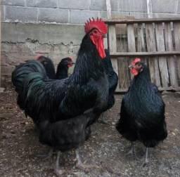 Galos galinhas pintos e ovos