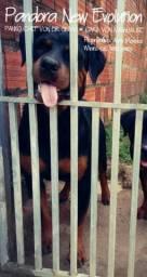 A procura de rottweiler com pedigree