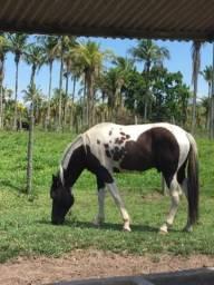 Cavalo Pampo de Preto Inteiro