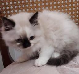 Gatos persa himalaios
