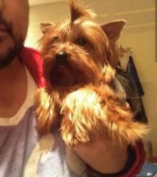 Yorkshire Terrier Macho para Cobertura. Baby face