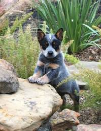 Boiadeiro Australiano (Australian Cattle Dog), com pedigree