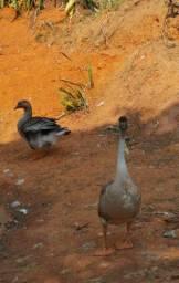 Casal de ganso africano