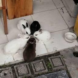 Mini Coelhos (coelho anão)