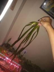 Vallisnéria grande, planta para aquário 70cm